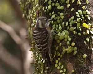 Japanese pygmy woodpecker