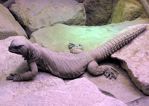 Photo of spiny-tailed lizard